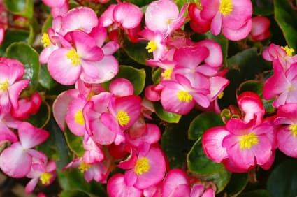 flor Begônia Cerosa