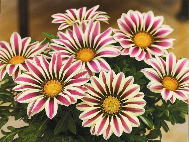 flor Gazânia